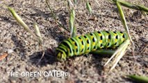 The Green Caterpillar ...with a Surprise Ending