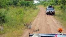 Ce lézard est bien décidé à tenir tête à un léopard... à coup de queue