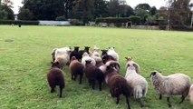 Le pire chien de berger face au troupeau de moutons