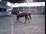 Cheval en longe / horse