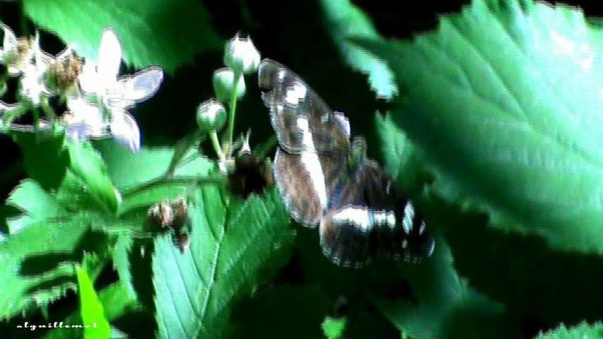 Le Petit sylvain (Limenitis camilla), est un insecte lépidoptère de la famille des Nymphalidae