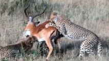 Four Cheetahs Trying to Bring Down a Male Impala [ Wild Animal Fights ]52