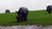 Des rhinocéros chargent une voiture
