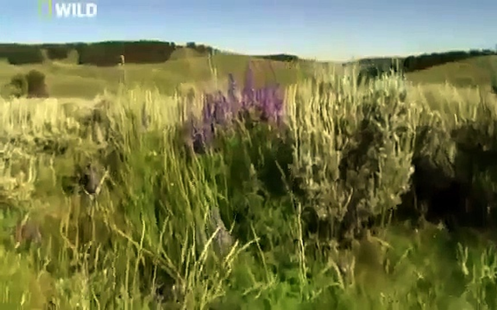 Grizzly Cauldron Return of the Gray Wolf  National Geographic Nature Documentary ANIMAL DOCUMENTARY