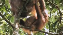 GREEN Palm Oil Deforestation)  Documentary by Patrick Rouxel ANIMAL DOCUMENTARY