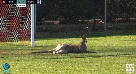 Surréaliste : un kangourou interrompt un match de foot