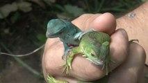 Bursa Hayvanat Bahçesi'nde Sevimli İguana Yavruları Dünyaya Geldi