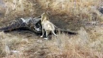 Lion VS Lion - The Fight Over Food Between Two Male Lions (2) [ Wild Animal Fights ]93