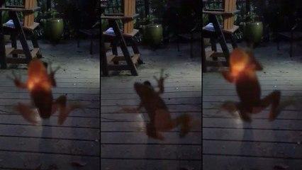 Une grenouille qui vient de se gober une luciole