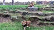 Quand 5 lions se mettent à rugir ensemble... Impressionnant
