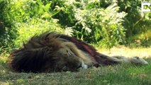 L'heure de la sieste dans un Safari park... Lions, tigres, rhinocéros, tout le monde dort