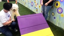 LIVE: This sweet sheepdog is trying out agility for the first time today! Let's see what she thinks