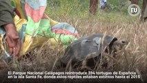 Tortugas gigantes regresan a Santa Fe para ayudar a la flora. Galapagos Conservancy y Parque Nacional Galápagos trabajan en el proyecto ►     Por Juana von Buch