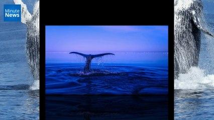Une baleine à bosse heurte un bateau et envoie quatre personnes à l'hôpital