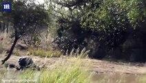مشهد نادر.. فيل يطارد قطيع من الأسود ويجبره على الفرار