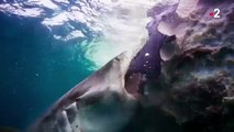 Requins blancs et requins bleus se partagent une baleine