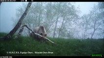Une maman ours et ses 2 petits filmés en Ariège
