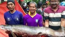 Penemuan monster ikan Arapaima dari Amazon di sungai Brantas - TomoNews