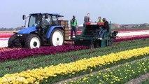 Tulip Cut Machine  Tulip harvesting machine lifting  How to harvest flower tulip Noal Farm 2017