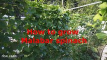 How to Grow and Harvest Malabar Spinach  Malabar Spinach Harvesting on Noal Farm 2017