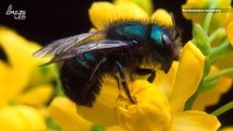 Climate Change May Be Wiping Out Earth's Bees