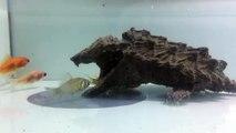 Ces poissons n'ont pas vu la tortue qui ressemble à un cailloux... Dommage