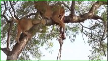 1 lion et 2 lionnes se retrouvent dans un arbre pour manger