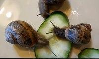 Pet Garden Helix Snails Feeding on Cucumbers, How to Care For Pet Helix Garden Snails