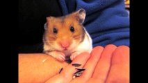 Cute and Adorable Hamster Tricks - Climbing Stairs, Peeling & Eating Sunflower seeds, Dribble Ball)