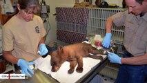 Wildlife Authorities Save Bear Cub Found With Burnt Paws