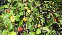 गमले में लगने वाले फलों के पौधे    Fruits that can Grow in Pot/Container    गमले में लगने वाले फलों के पौधे    Container Growing Fruits    Best Plant for Containers    Fruit Plants for Container    Easy to grow Fruit plant in Home Garden
