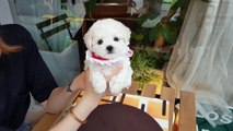 Baby bichon frise puppy video doll?puppy? cutest puppy - Teacup puppies KimsKennelUS