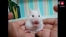Cutest Hamster Falling Sleep Compilation, Funny animals hamster