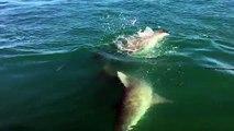 Un requin énorme vient dévorer la queue d'un autre requin
