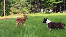 Oh deer, a dog! A fawn and a dog don't seem to get along well with each other as a video shared by Annette Ginocchetti shows. Though, the fawn seems to gain the