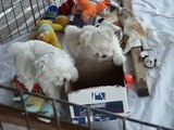 Cute 8 Week Old Maltese Puppies
