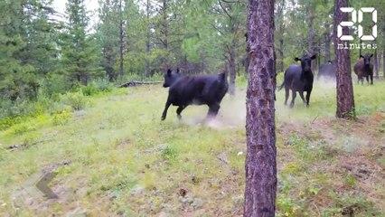 Il se fait attaquer par des vaches en pleine forêt - Le Rewind du Lundi 02 Juillet 2018