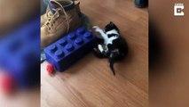 Malade, ce bébé chat se débrouille pour marcher comme il peut sur ses pattes !
