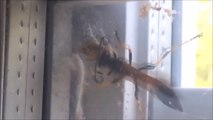 Une guêpe géante vient dévorer une araignée... Combat d'insectes terrifiants