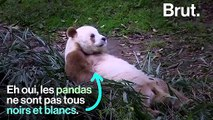 Les pandas toujours noirs et blancs ? Vraiment ?