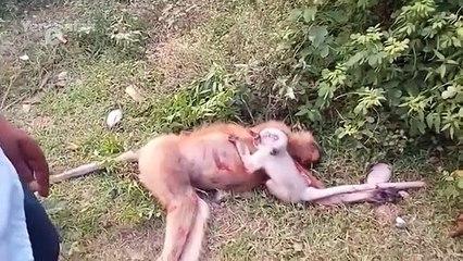 Un bébé singe essaye de réveiller sa mère décédé après avoir été happé par une voiture