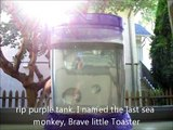 THE INCREDIBLE LIVE SEA MONKEYS - SIX MONTHS LATER!!!