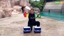 L'Avenir - Belgique-Brésil : le pronostic de WAtson, l'otarie du zoo d'AmnévillePronostic otarie