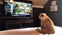 Ce Bulldog réagit devant le film King Kong pour aider naomi watts !