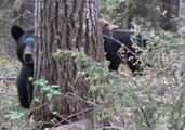 Hunter Captures Video of Mother Black Bear, Then She Charges Him