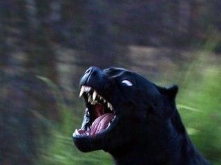 black panther pitbull dog