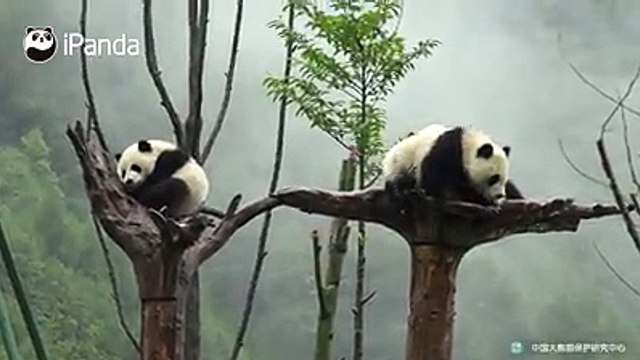 #SuperPandaWork is not easy for this nanny, who has to persuade the panda babies to come home in the heavy rain!Watch full video here: goo.gl/BBjKo4All his