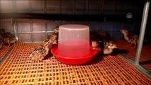 Süne avcısı kınalı keklikler yetiştiriliyor  - GÜMÜŞHANE