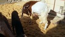 Farm Boer Goat And Boer SHeep Egybt مزارع ماعز بور اغنام بور مصرى