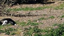 Penguin Mating | Wild Animals - Planet Doc Full Documentaries